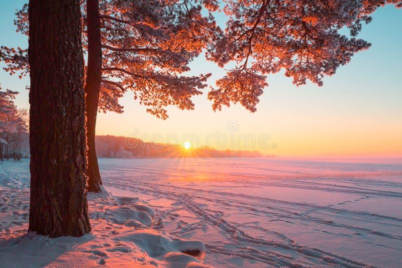 Högväxt sörja trädet i aftonsolljuset nära den frostiga sjön Sjö som täckas med snö arkivfoton