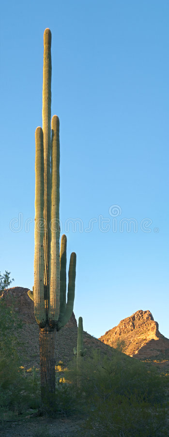 högväxt saguaro royaltyfri bild