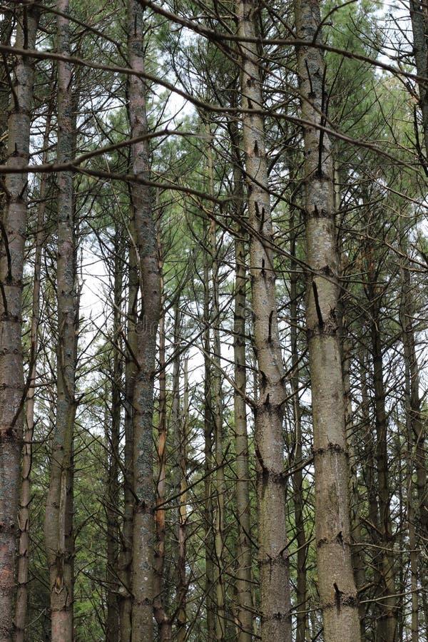 Högväxt skog av granen royaltyfri foto
