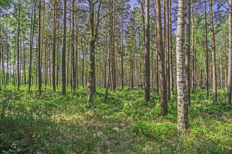 Högväxt skog i tidig vår arkivfoto