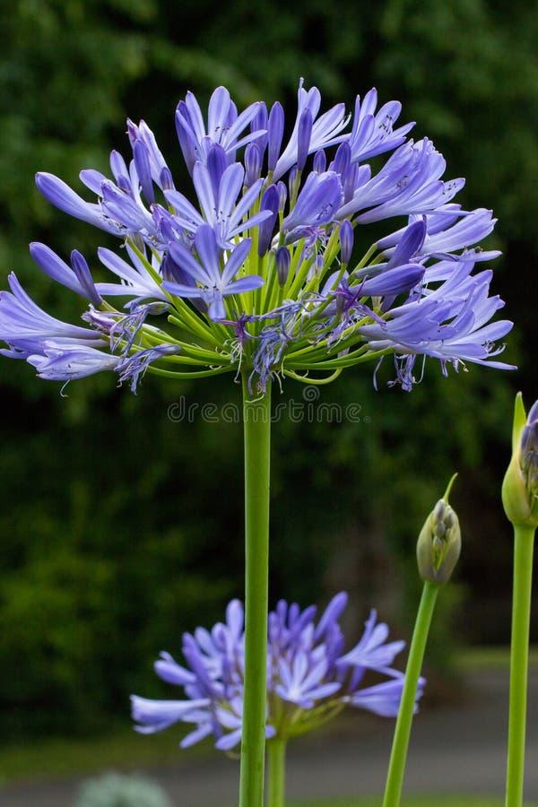 Högväxt tänd - den blåa afrikanska liljan fotografering för bildbyråer