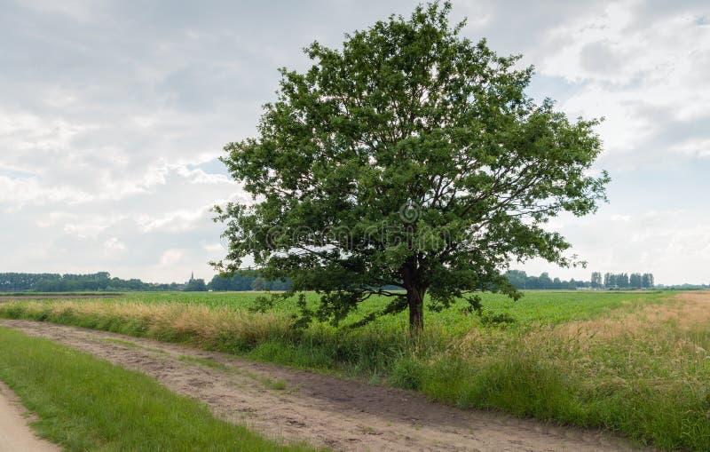 Högväxt träd bredvid en sandig bana i lantligt landskap arkivfoto