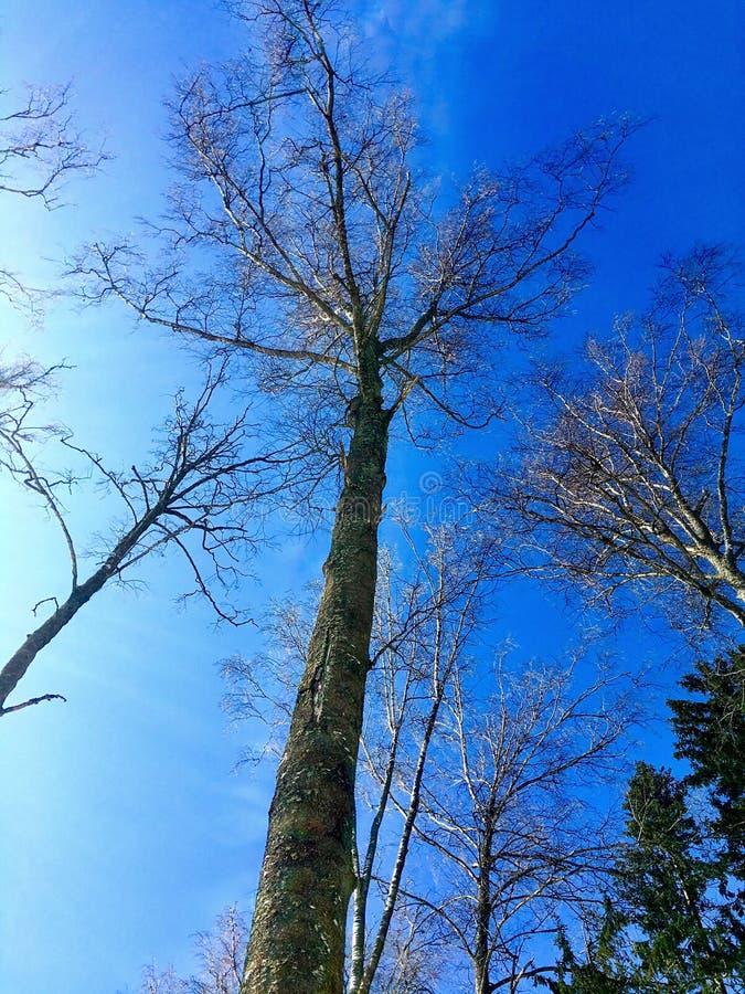 högväxt trees royaltyfria bilder