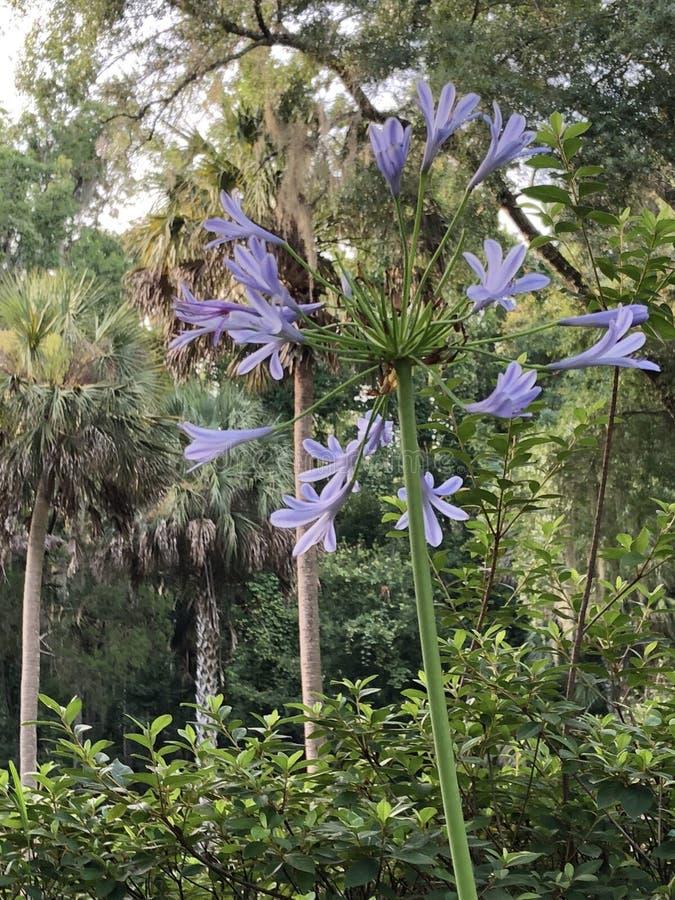 Högväxt värdig blom- skönhet fotografering för bildbyråer