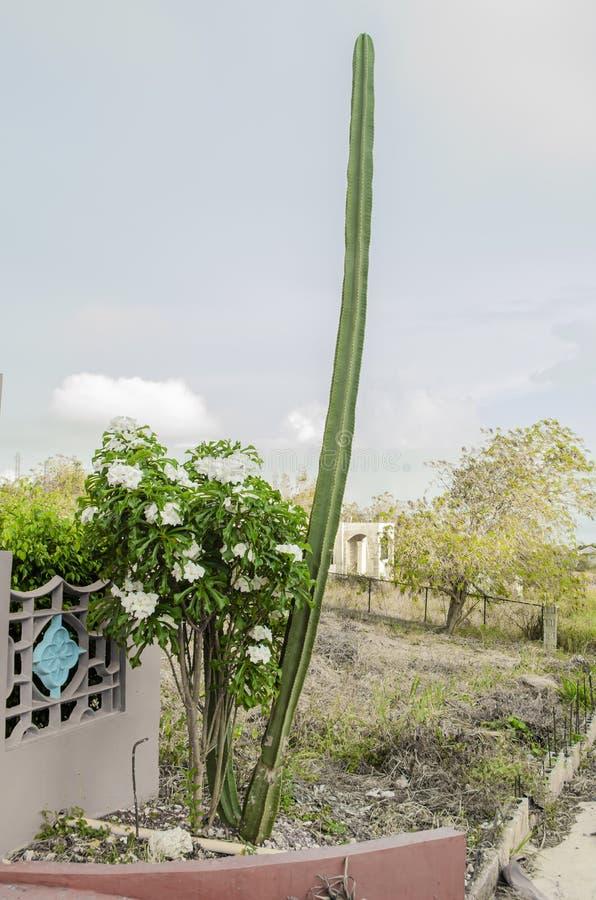 Högväxt växt för CereusRepandus kaktus arkivbilder