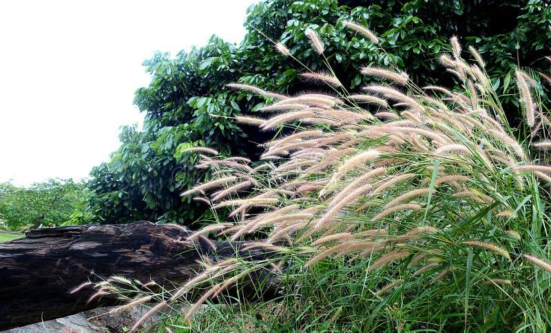 Högväxta blommor för gräs arkivbilder