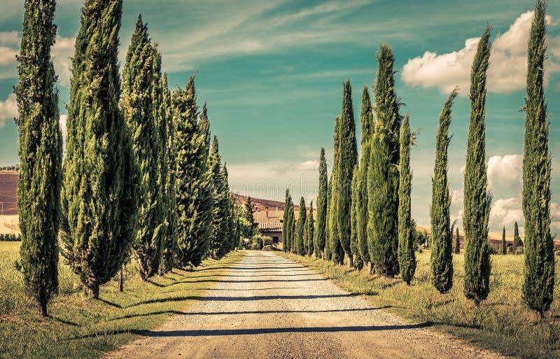 Högväxta cypressträd royaltyfri fotografi