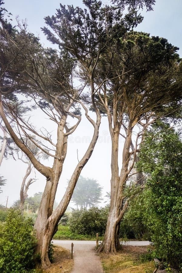Högväxta cypressträd in på en dimmig bakgrund, Moss Beach, Kalifornien royaltyfri fotografi