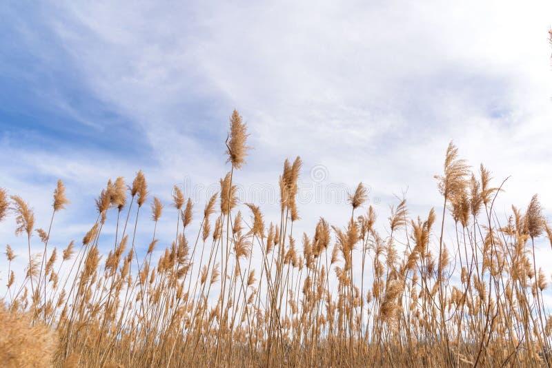 Högväxta fjäderlika gräs som blåser i vinden arkivbilder