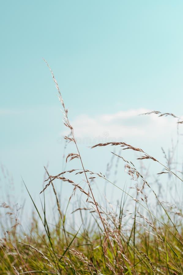 Högväxta lösa gräs under Aqua Blue Sky i sommar fotografering för bildbyråer