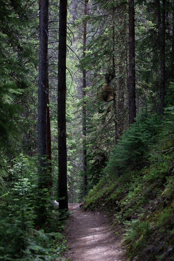 Högväxta mörka träd i skogen av Rocky Mountain National Park fotografering för bildbyråer