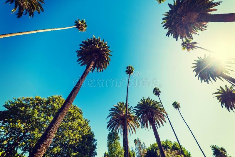 Högväxta palmträd i Beverly Hills arkivbilder