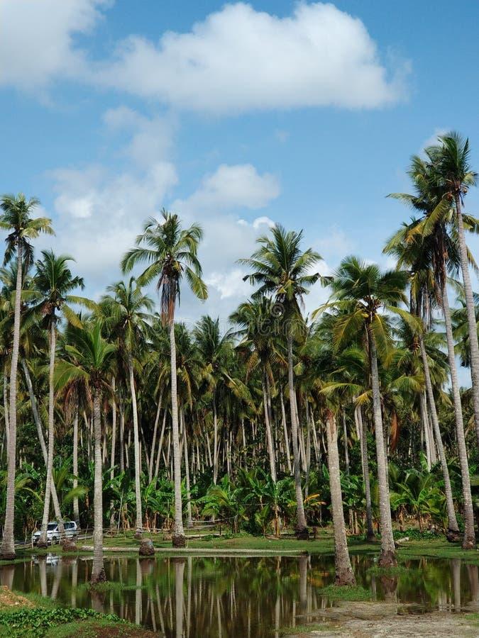 Högväxta palmträd med reflexion i vatten, Nusa Penida ö nära Bali fotografering för bildbyråer