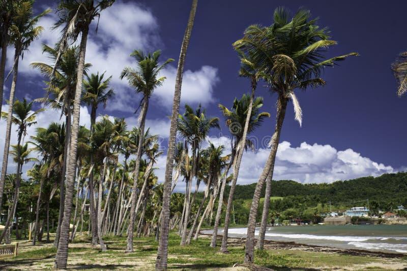Högväxta palmträd på den härliga costal ön royaltyfri fotografi