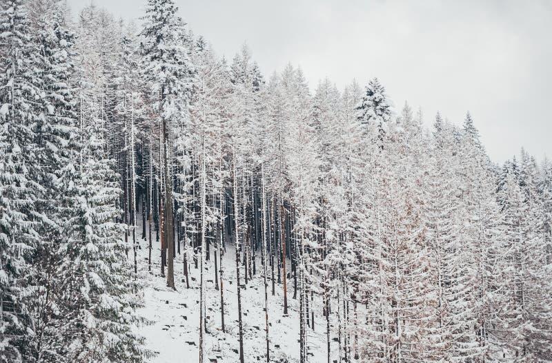 Högväxta prydliga träd som täckas med den insnöade vinterskogen och bakgrund för molnig himmel royaltyfri bild