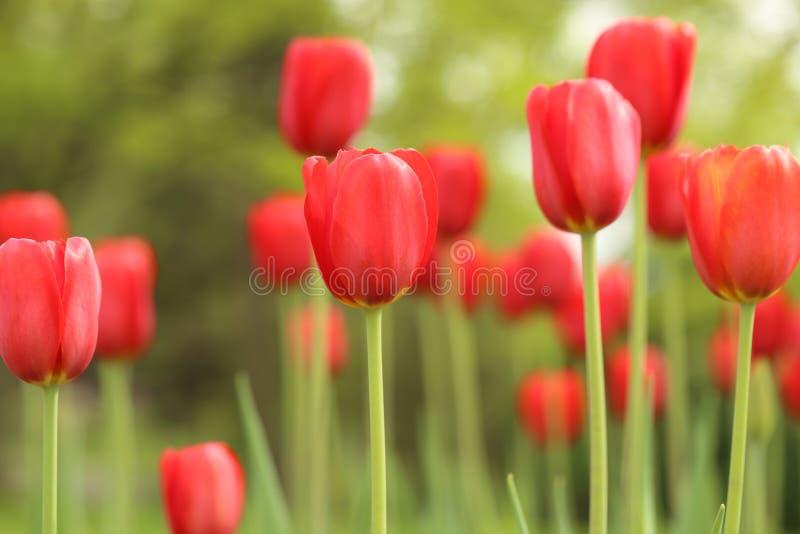 Högväxta röda tulpan i blommaträdgård royaltyfri foto