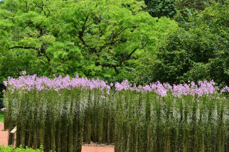 Högväxta raksträckaväxter med lilor blommar på Singapore botaniska trädgårdar arkivbild