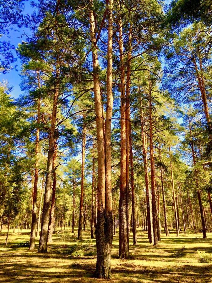 högväxta träd i en skog på en solig dag royaltyfria foton