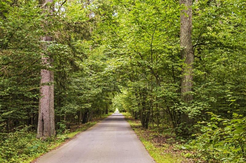 Högväxta träd längs skogvägen arkivbild