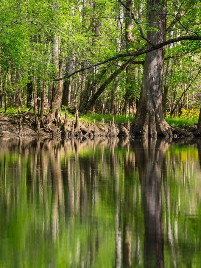 Högväxta träd längs vatten kant, Cedar Creek, Congaree nationalpark royaltyfria foton