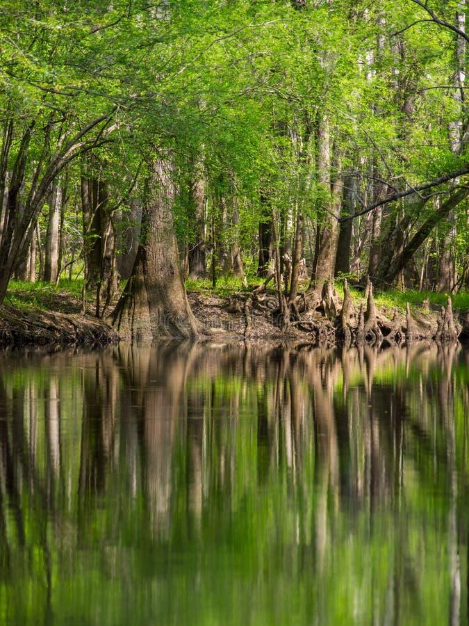 Högväxta träd längs vatten kant, Cedar Creek, Congaree nationalpark royaltyfria bilder