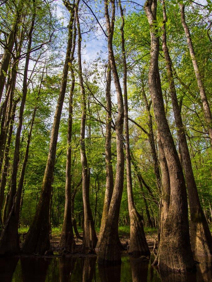 Högväxta träd längs vatten kant, Cedar Creek, Congaree nationalpark arkivbilder