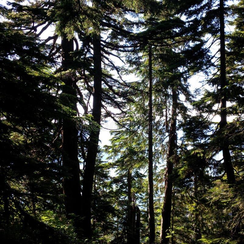 Högväxta träd på den provinsiella cypressen parkerar royaltyfri foto