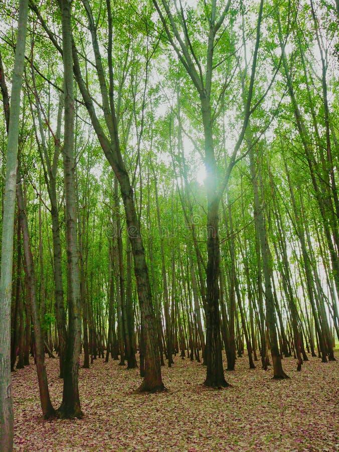 Högväxta Tress In Forest Nursery In Kashmir Valley Indien arkivbilder