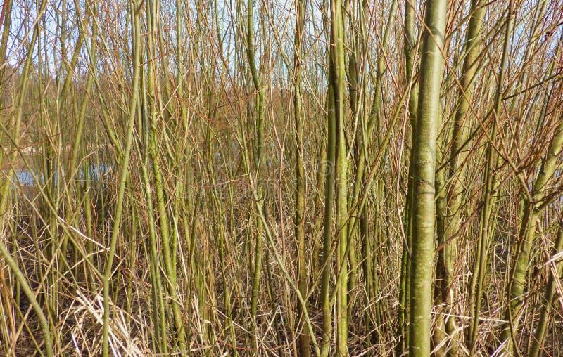 Högväxta tunna vertikala träd arkivfoton