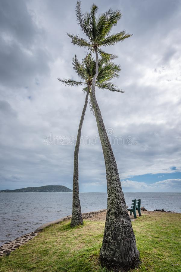 Högväxta två, vridna palmträd i den Kawaikui stranden parkerar på Oahu, Hawaii royaltyfri bild