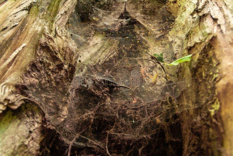 Höhle mit Spinnennetzen in einem alten Baum stockfotografie