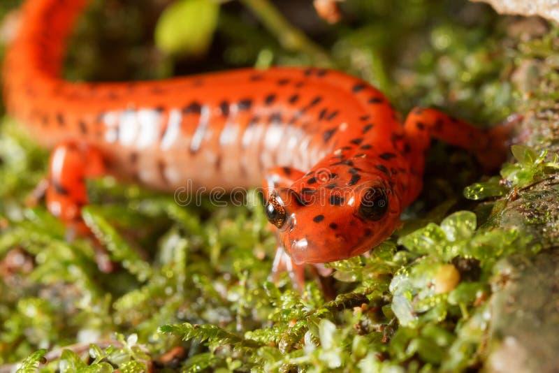 Höhlen-Salamander-Porträt stockfotografie
