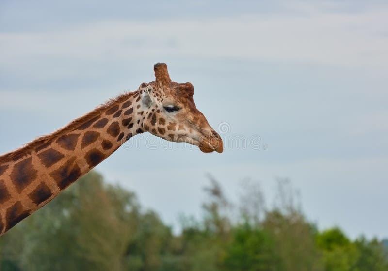 Höjden av en giraff arkivfoton