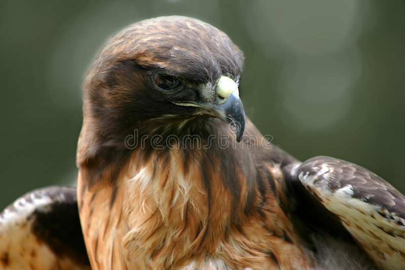 Download Hök 2 arkivfoto. Bild av wild, djurliv, hök, svan, rött - 32964