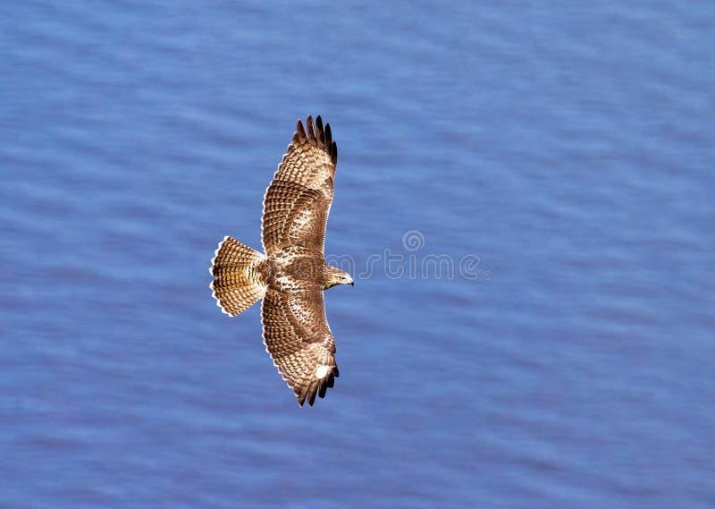 Hök i flykten över Hudson River arkivfoto