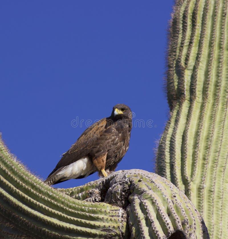 Hök i Saguaro fotografering för bildbyråer