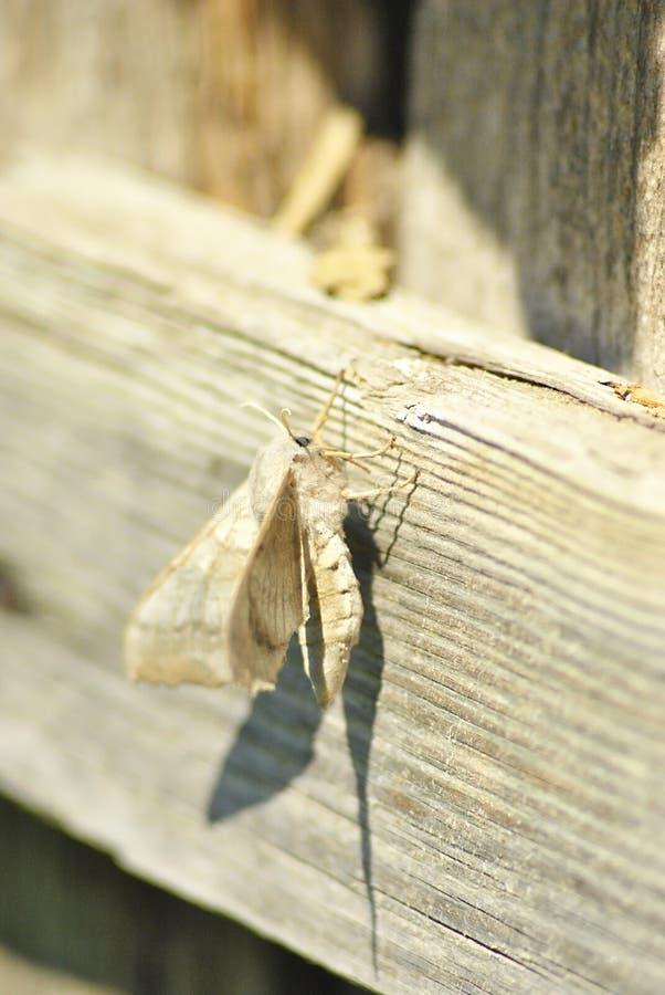 Hök-mal för Laothoe populipoppel som sitter på träoskarp bakgrund arkivfoton