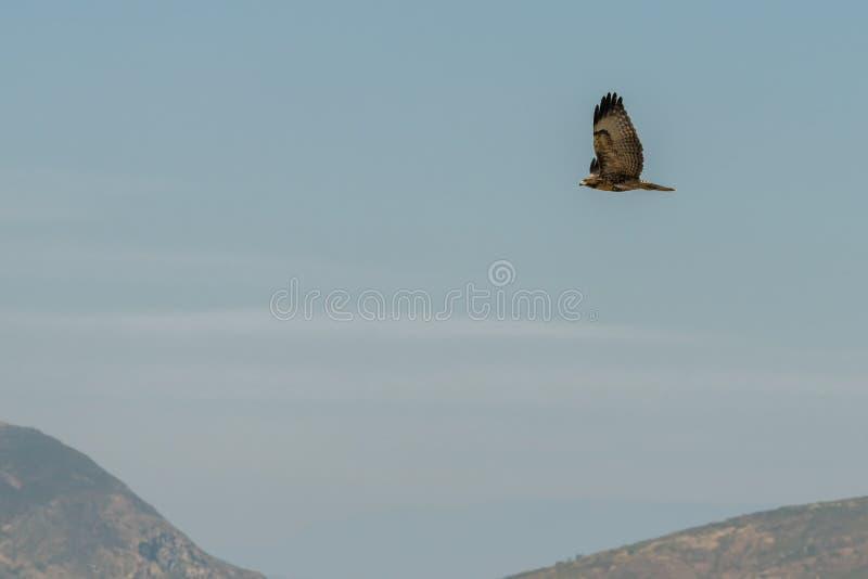 Hök som flyger över kullar i Kalifornien arkivbilder