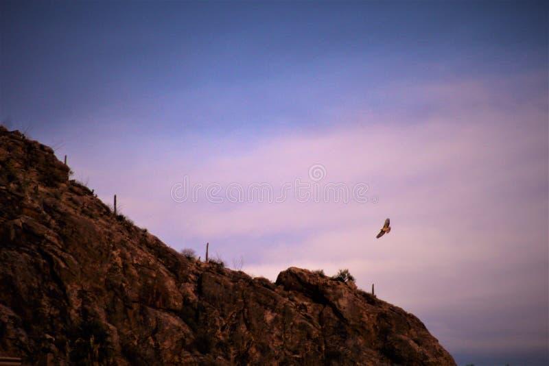 Hök som omkring flyger i aftonen Skymning väntar på inget royaltyfri bild