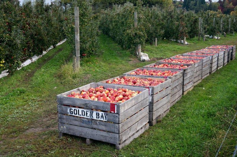 Hölzerne Apfelbehälter voll von den roten rosigen frisch ausgewählten Äpfeln stockfotografie