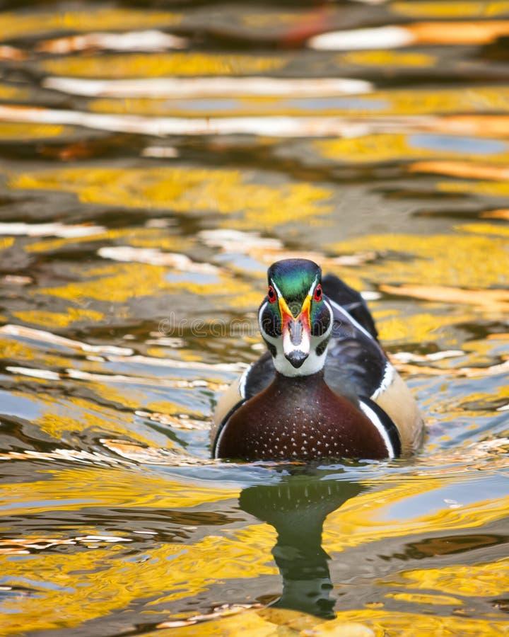 Hölzerne Ente auf goldenem Teich stockfotos