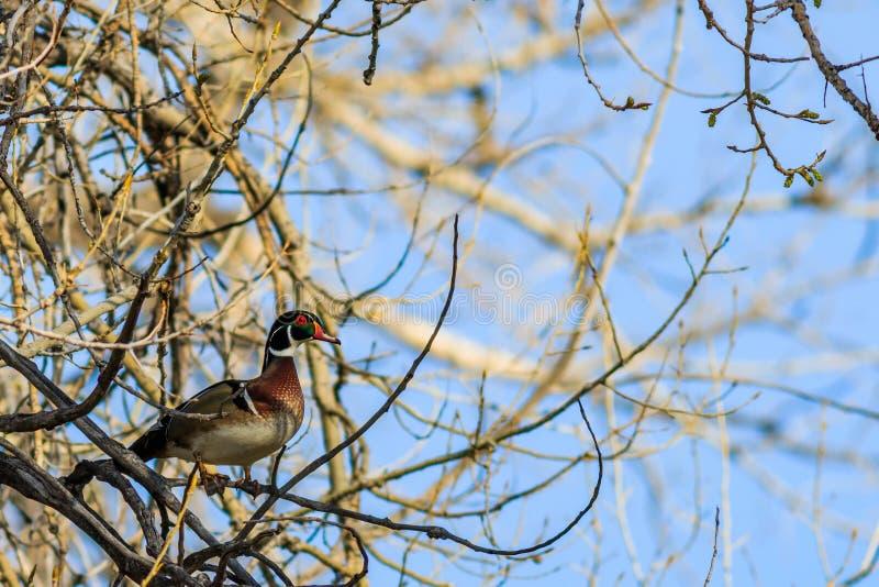 Hölzerne Ente gehockt in einem Baum lizenzfreies stockfoto