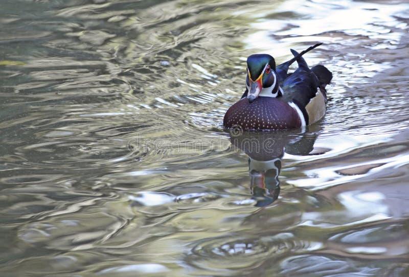 Hölzerne Ente-Schwimmen stockfotos