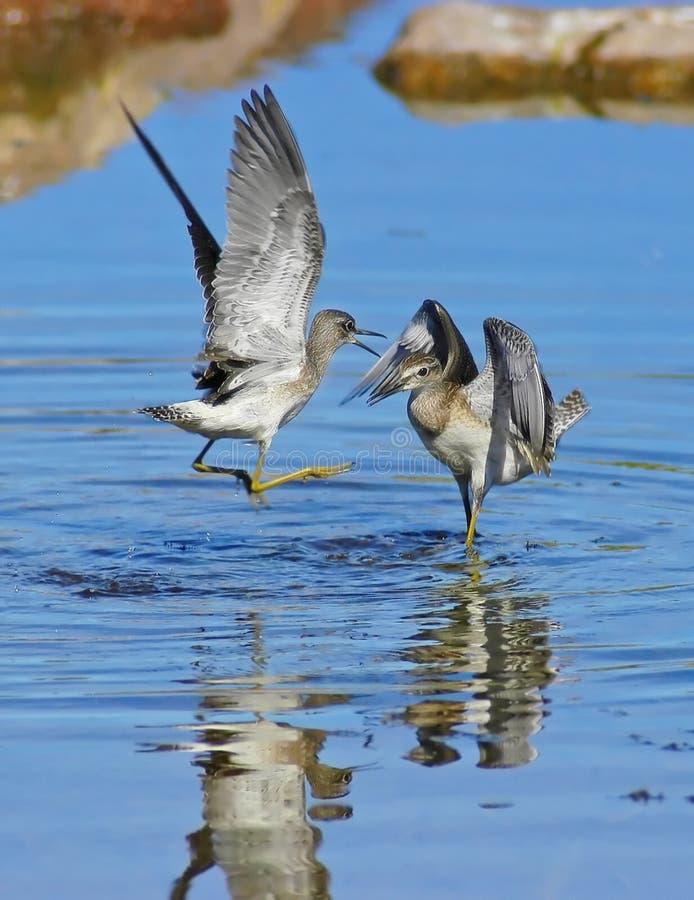 Hölzerne Flussuferläufer kämpfen (Tringa Glareola) stockfoto