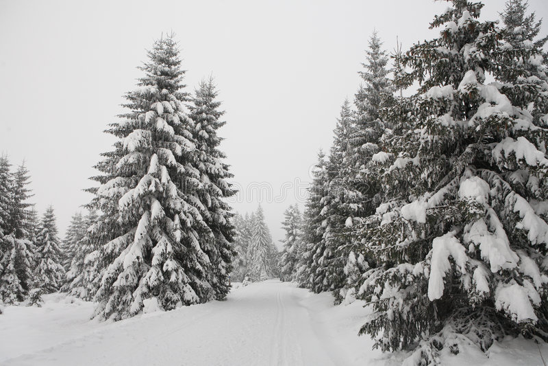 Hölzerne Kiefer des Winters Wald stockfoto