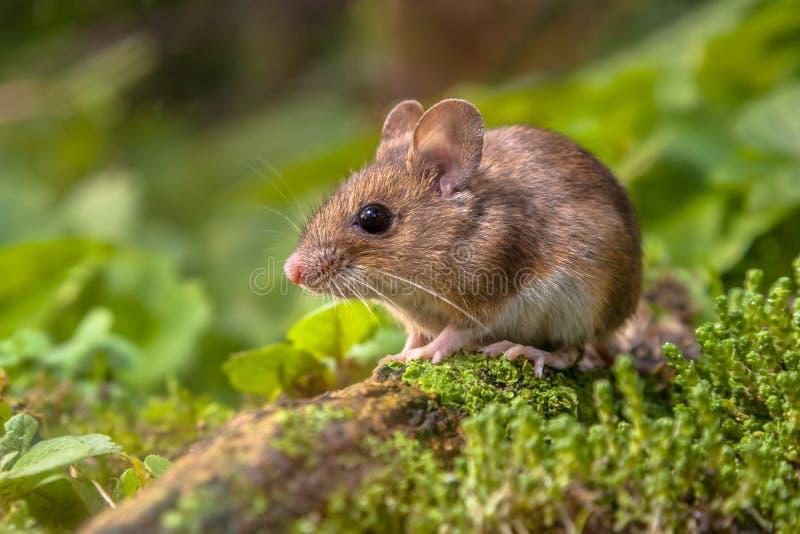 Hölzerne Maus im natürlichen Lebensraum lizenzfreies stockbild