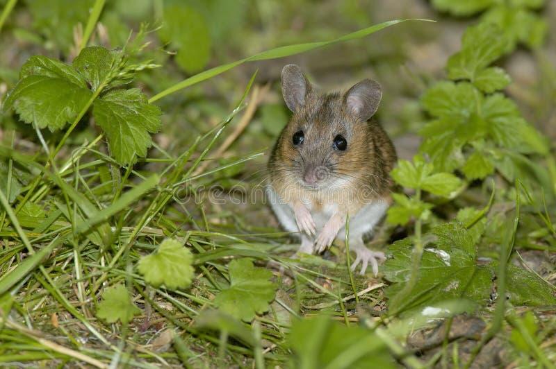 Hölzerne Maus oder lange angebundene Feld-Maus lizenzfreies stockfoto