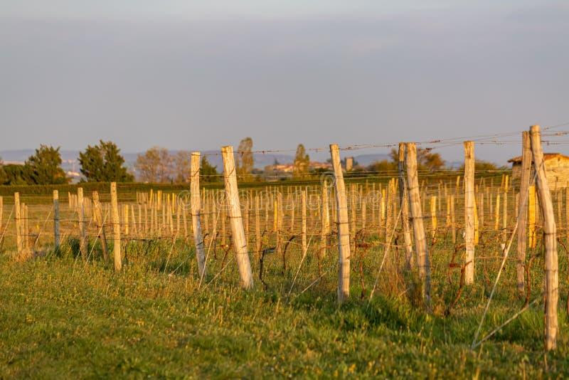 Hölzerne Pfosten mit ausgedehntem Metalldraht stützen den Weinberg Junge Blätter auf einer alten französischen Rebe beleuchtet du stockbilder