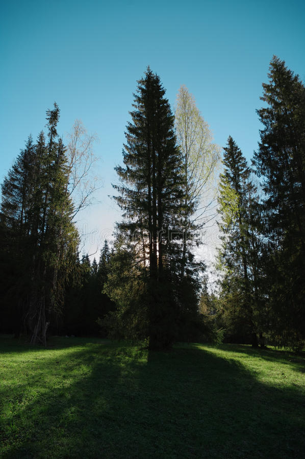 Hölzerner Baum der Jahreszeitwaldlichtung, Hintergrundbeleuchtung stockfoto