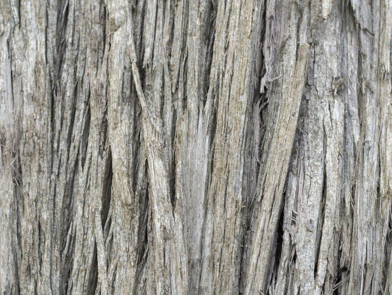 Hölzerner Beschaffenheitseukalyptus stockfotografie